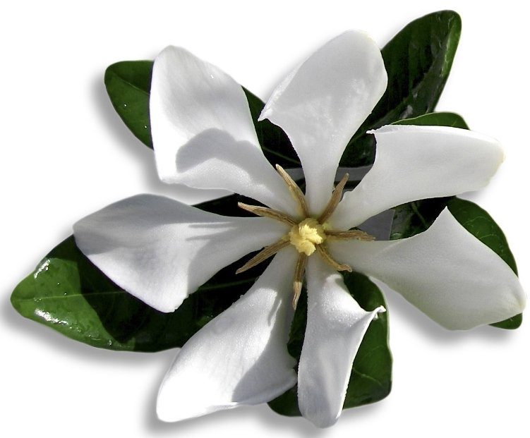 A photo of a Vietnamese gardenia flower in my garden.  This photo is one of my favorites, it's so pristine and stylized at the same time.
