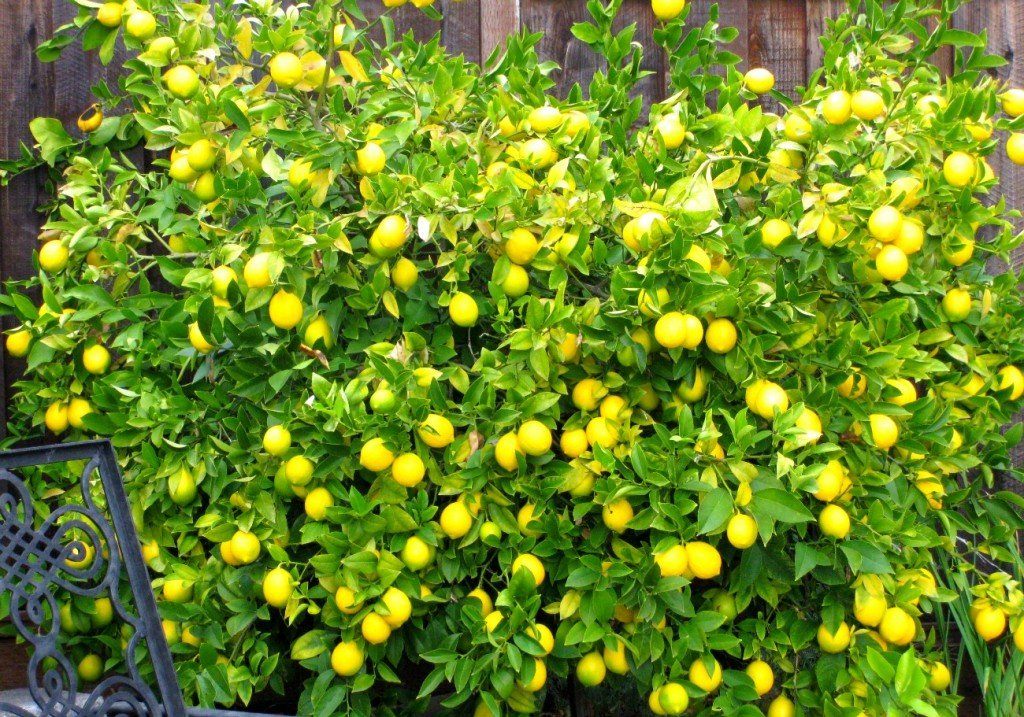 Meyer lemon tree with a typical load of fruit!
