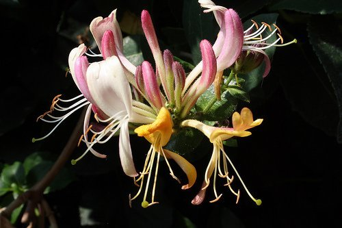 Honeysuckle flower.  Some artisan perfumers are currently enfleuraging the beauties.  No absolute is being produced for the industry, despite claims from India and Italy.