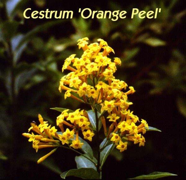 Orange Flowers That Smell Like Orange Peels