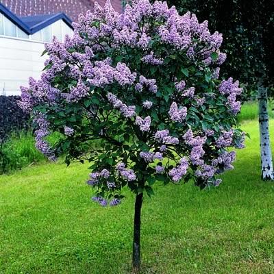 cornutia grandifolia tree