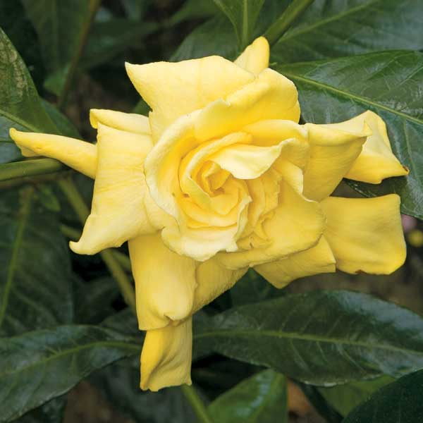 Here's a golden gardenia for Helene! Photo from logees.com