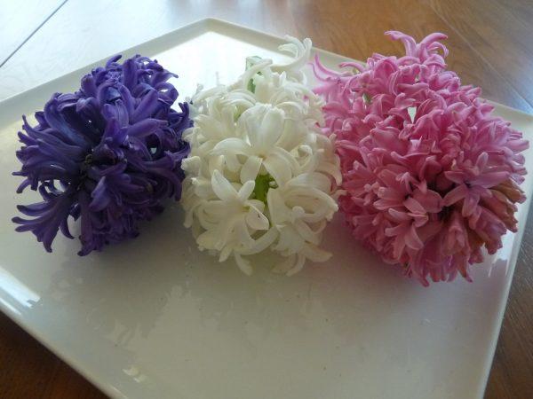 Three fragrant hyacinth flower stalks