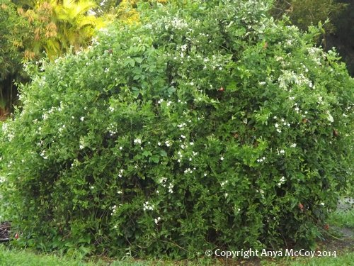 Jasmine azoricum vine covering huge hibiscus shrub. Look closely to see some red hibiscus flowers peeking out.