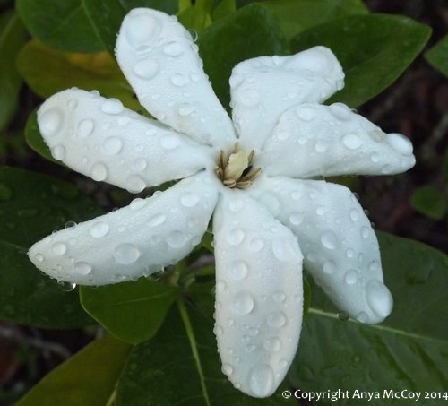 Tahitian gardenia flower aka Tiare flower, heavy with morning dew