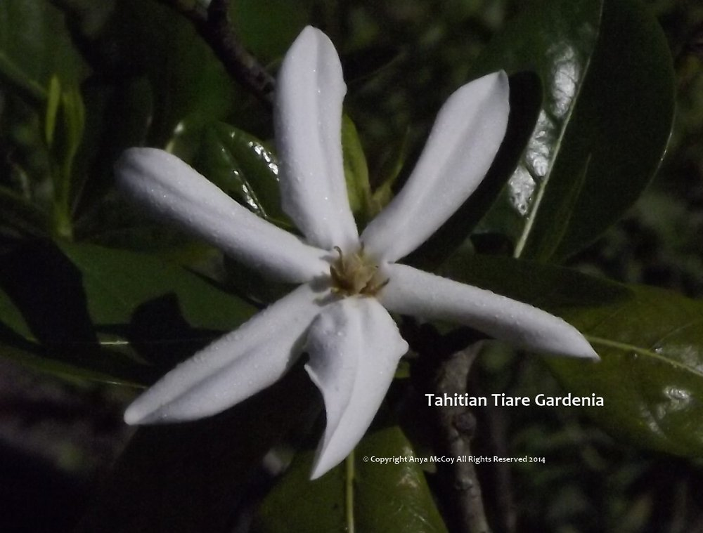 The Tahitian Tiare Gardenia is still dewy.