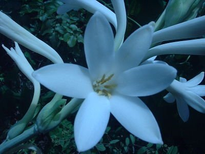 Tuberose by moonlight in Anya's Garden
